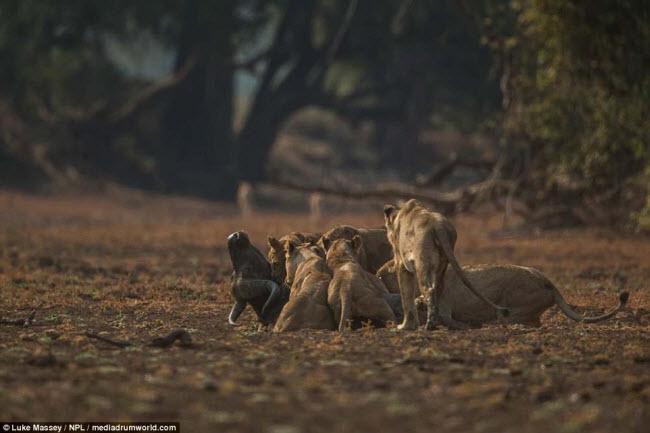 Trâu rừng liều mình quyết chiến lần cuối với sư tử - 6