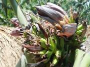 Tin tức trong ngày - Đổ xô đi xem cây chuối hột kỳ lạ nở ra 21 hoa