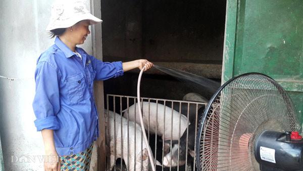 Nhà nông cho gà uống nước đá lạnh để chống nắng nóng 41 độ C - 1