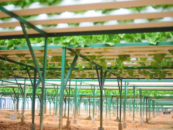Những lão nông đổi đời nhờ mê rau công nghệ cao - 4
