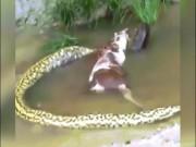 Thế giới - Trăn khổng lồ anaconda vật vã nôn, cả một con bò chui ra