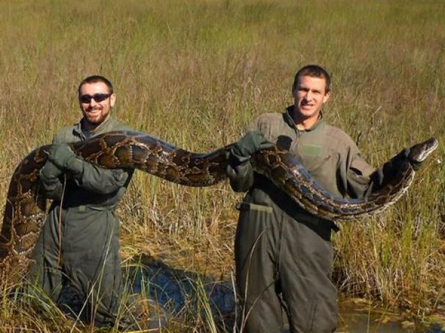 Mỹ: Bắt được 1,8 tấn trăn khổng lồ sau 2 tháng săn lùng