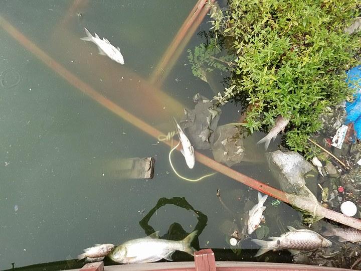 HN: Tròn 1 năm, cá lại chết trắng hồ Hoàng Cầu - 1