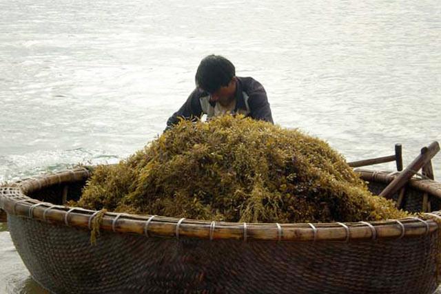 Quảng Ngãi: Sốt giá rong mơ lên 6.000 đ/kg, ngư dân ra biển mò vớt - 1