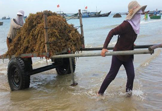 Quảng Ngãi: Sốt giá rong mơ lên 6.000 đ/kg, ngư dân ra biển mò vớt - 2