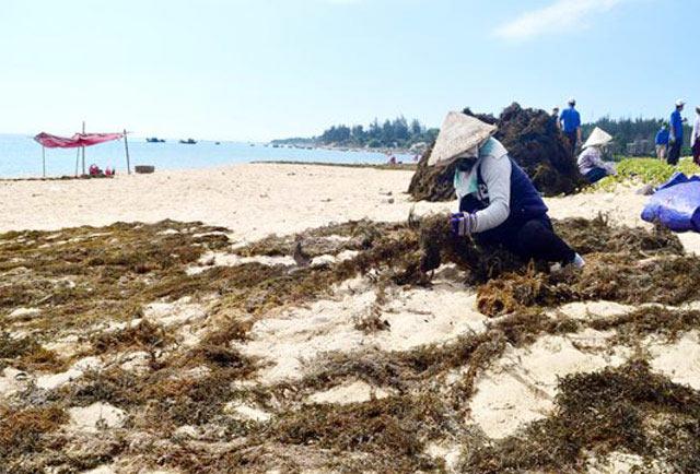 Quảng Ngãi: Sốt giá rong mơ lên 6.000 đ/kg, ngư dân ra biển mò vớt - 3