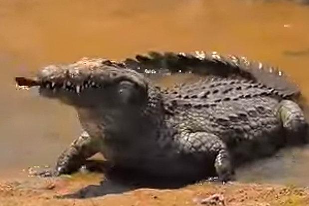 Video: Cá sấu tung đòn sát thủ, nuốt cá chình như người ăn bún - 2