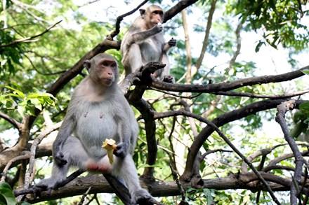 Chuyện kỳ lạ về đàn khỉ nương náu ngôi chùa ở Vũng Tàu - 1