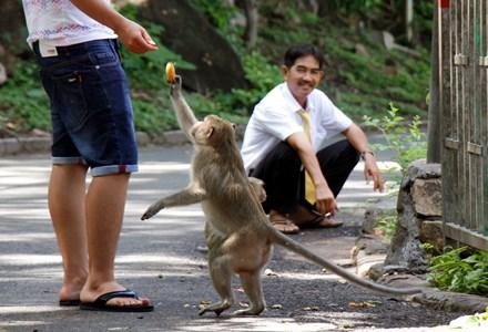 Chuyện kỳ lạ về đàn khỉ nương náu ngôi chùa ở Vũng Tàu - 12