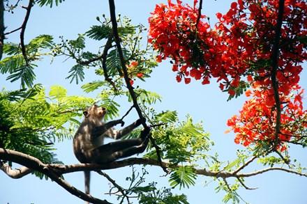 Chuyện kỳ lạ về đàn khỉ nương náu ngôi chùa ở Vũng Tàu - 13