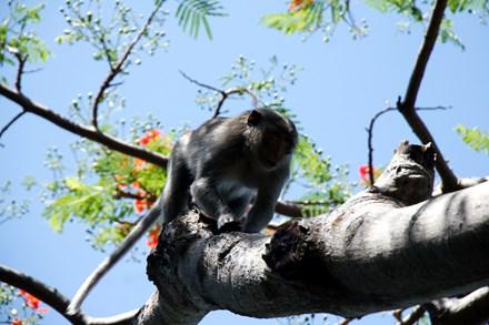 Chuyện kỳ lạ về đàn khỉ nương náu ngôi chùa ở Vũng Tàu - 2
