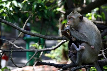 Chuyện kỳ lạ về đàn khỉ nương náu ngôi chùa ở Vũng Tàu - 4