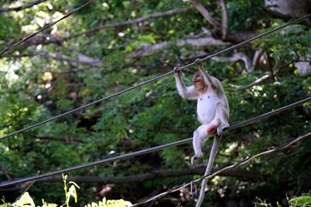 Chuyện kỳ lạ về đàn khỉ nương náu ngôi chùa ở Vũng Tàu - 7