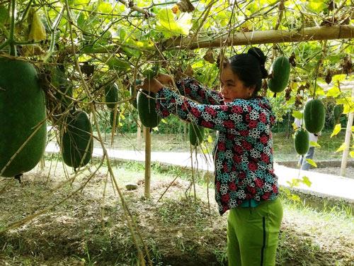 Trồng bí thơm đặc sản, nhà nông phấn chấn thu 200 triệu/ha - 1