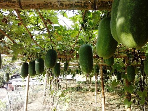 Trồng bí thơm đặc sản, nhà nông phấn chấn thu 200 triệu/ha - 2