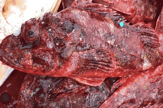 """Săn cá """"nhìn phát ghê, ăn lại mê"""": Chỉ ngư dân lành nghề mới dám - 1"""
