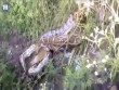 Trăn khổng lồ nuốt chó rừng, phình to gấp 5 lần ở Ấn Độ