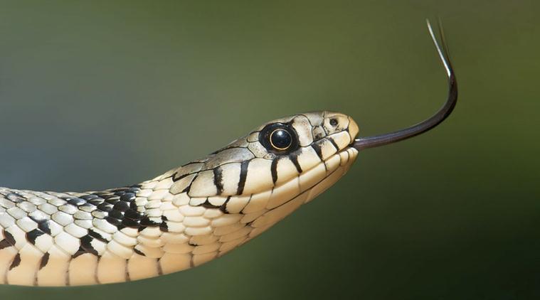 Ấn Độ: Bị rắn kịch độc cắn, chồng cắn vợ để chết cùng nhau - 2