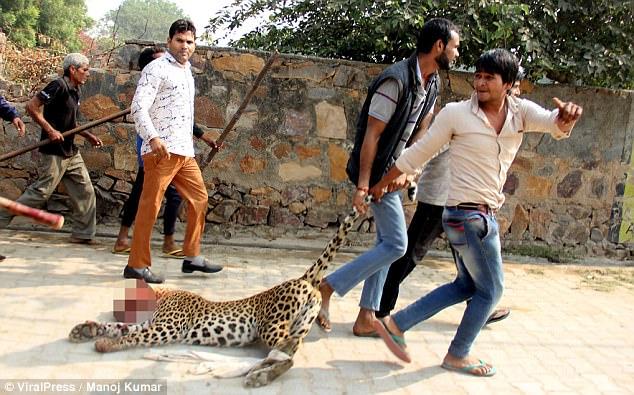 Ấn Độ: Đụng độ đám đông 1.500 người, báo đốm chết thảm - 1