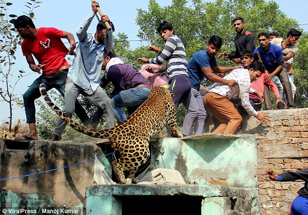 Ấn Độ: Đụng độ đám đông 1.500 người, báo đốm chết thảm - 2