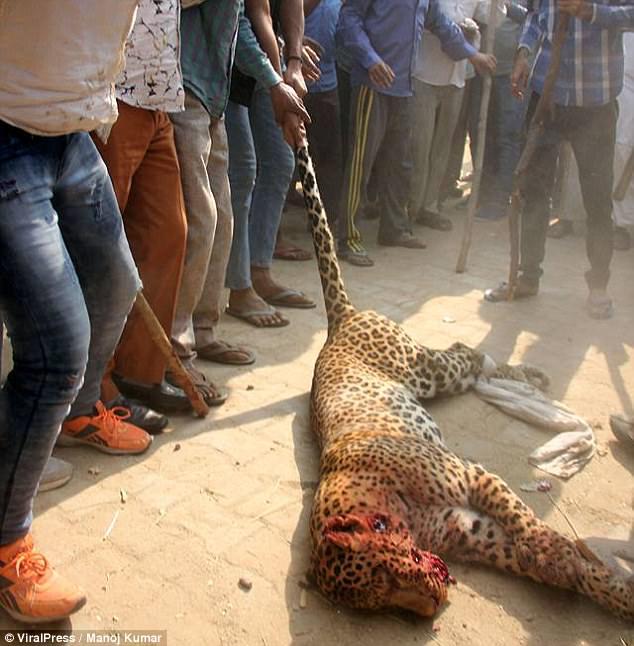 Ấn Độ: Đụng độ đám đông 1.500 người, báo đốm chết thảm - 3