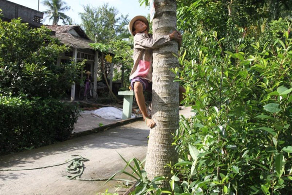 Chùm ảnh: Cụ bà 60 tuổi vẫn phải kiếm sống trên ngọn dừa - 4