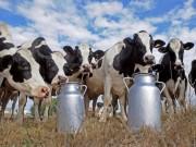 Thế giới - Đại gia thuê máy bay chở 4.000 bò sữa về cứu dân Qatar