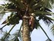 Chùm ảnh: Cụ bà 60 tuổi vẫn phải kiếm sống trên ngọn dừa