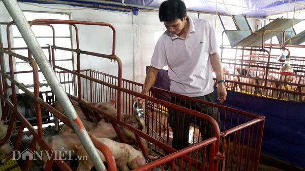 Sốc: Lợn giống giảm còn 100.000 đ/con, dân giết thịt nuôi chó, mèo - 1