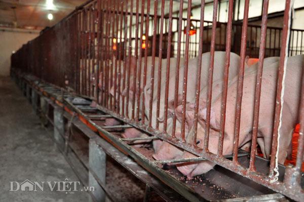 Sốc: Lợn giống giảm còn 100.000 đ/con, dân giết thịt nuôi chó, mèo - 2