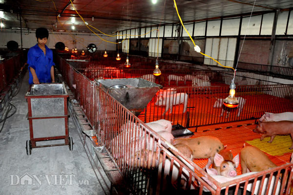 Sốc: Lợn giống giảm còn 100.000 đ/con, dân giết thịt nuôi chó, mèo - 3