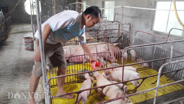 Sốc: Lợn giống giảm còn 100.000 đ/con, dân giết thịt nuôi chó, mèo - 4