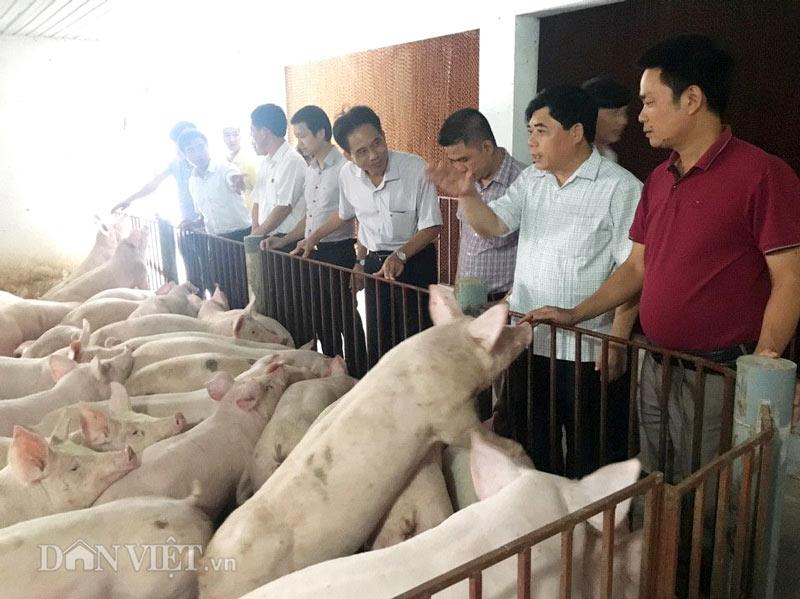 Sốc: Lợn giống giảm còn 100.000 đ/con, dân giết thịt nuôi chó, mèo - 5