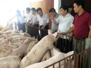 Thị trường - Tiêu dùng - Sốc: Lợn giống giảm còn 100.000 đ/con, dân giết thịt nuôi chó, mèo
