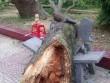 Cành cây xà cừ rơi vào người, nữ phó hiệu trưởng tử vong trong sân trường