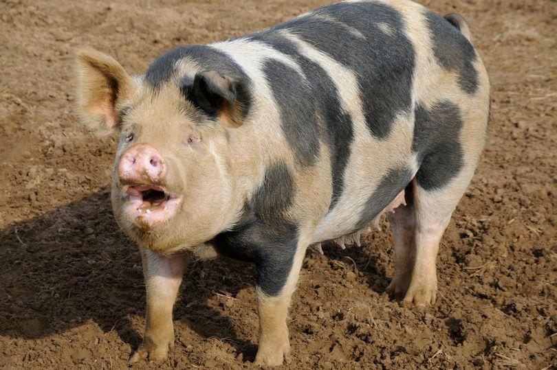 """Quyết chiến với lợn, bị cắn đứt """"của quý"""" rồi tử vong - 1"""