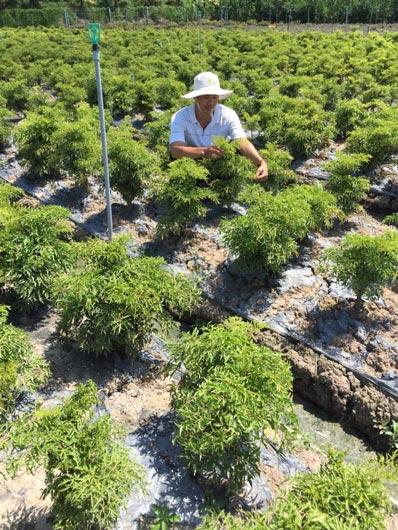 """Chỉ trồng 2 loài cây thuốc bổ, """"soái ca"""" miệt vườn thu ngót 1 tỷ/năm - 4"""