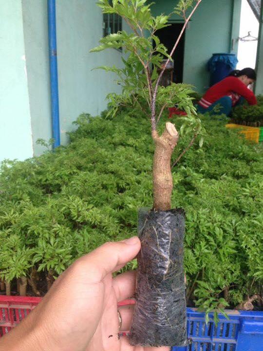 """Chỉ trồng 2 loài cây thuốc bổ, """"soái ca"""" miệt vườn thu ngót 1 tỷ/năm - 9"""