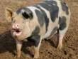 """Quyết chiến với lợn, bị cắn đứt """"của quý"""" rồi tử vong"""