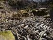 Ngàn con rắn lúc nhúc cuộn vào nhau giao phối ở Canada