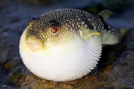 Đi biển, tránh xa những loại hải sản 'sát thủ' này - 2