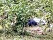 Đi chăn trâu, phát hiện người đàn ông chết nằm sấp trong bụi cây
