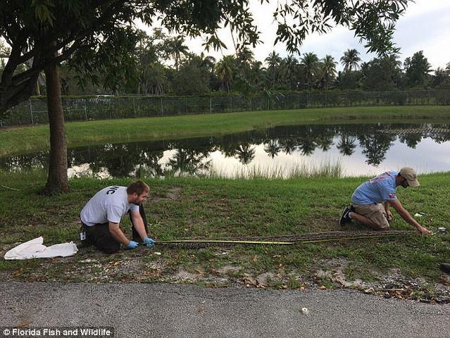 """Mỹ: Bất ngờ phát hiện trăn """"khủng"""" cùng 39 quả trứng - 1"""