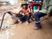 Tin tức trong ngày - Nghệ An: Người dân bắt được rắn hổ mang chúa dài hơn 3m