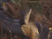 Bị phản bội, hổ mang chúa nuốt chửng con cái mang bầu