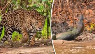Video: Báo đốm phi thân xuống sông cắn đứt cổ cá sấu