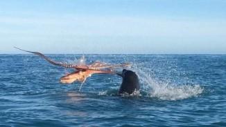 Cuộc chiến kinh hoàng giữa bạch tuộc khổng lồ và hải cẩu