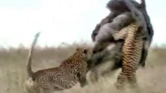 Đàn báo rượt, hạ gục loài chim chạy nhanh nhất thế giới