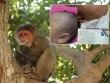 Kinh hãi: Khỉ đực vào nhà tấn công bé sơ sinh ngay giữa Thủ đô