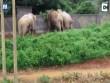 3 voi hợp sức đập nát tường bỏ trốn khi bị truy đuổi